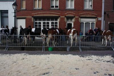 Melkvee op de Vette Veemarkt