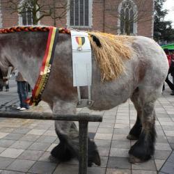 Belgisch trekpaard op de Vette Veemarkt