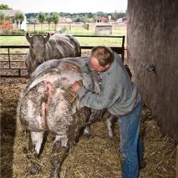 Het gereedzetten van de dieren voor de veemarkt