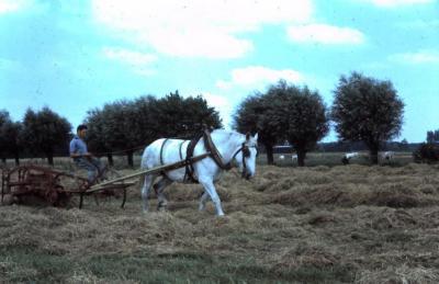 Hooien met trekpaard, Waarschoot, jaren 1960