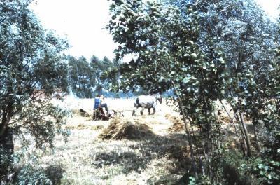 Oogst met trekpaard, Waarschoot, jaren 1960