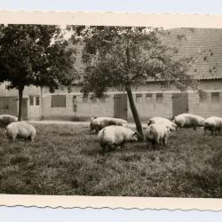 Erelidkaart BJB Groeningeruiters, Kaprijke (1)