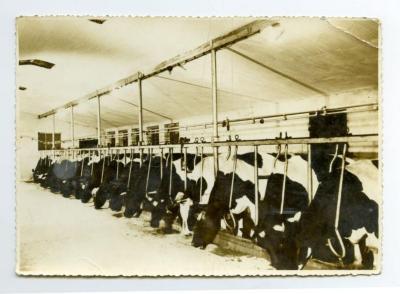 Koeien in de stal, Assenede