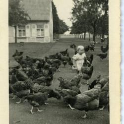 Kippen en ganzen voederen, Aalter
