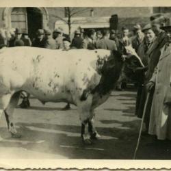 Koeien in de wei, Aalter