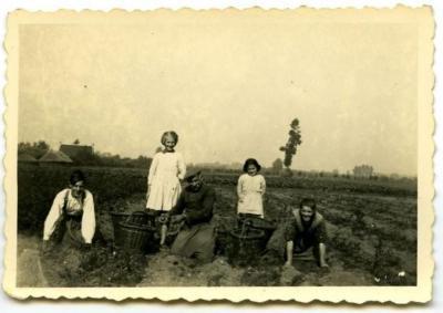 Aardappelen rooien met hulp van os
