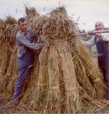 Familie De Coninck oogst (VII)
