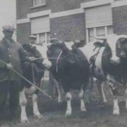 Winnende vaars, Zomergem, 1930